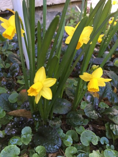 MIniature Daffodils come like ting golden stars among the greed swords of their foliage
